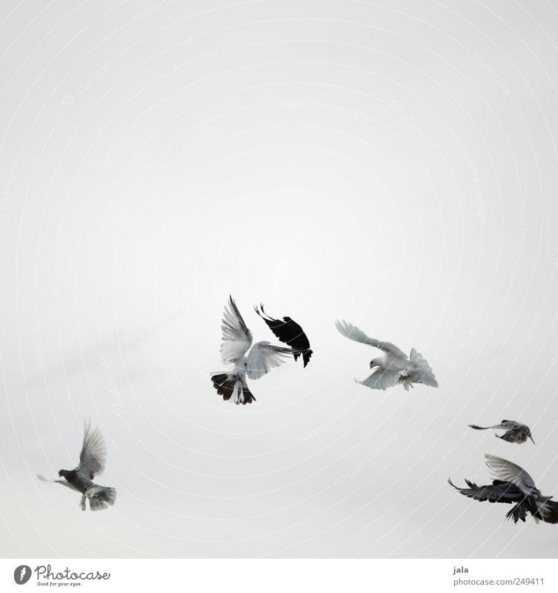 flügelschlag Himmel weiß Tier schwarz grau fliegen Vogel wild ästhetisch Taube Schwarm