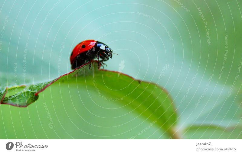So klein. So zart. So unberührt. Glück Umwelt Natur Pflanze Tier Sonnenlicht Frühling Sommer Blume Blatt Garten Wiese Käfer Insektenschutz Marienkäfer 1 Zeichen