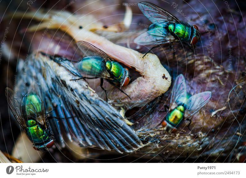 Schmeißfliegen Tier Totes Tier Vogel Fliege Flügel Goldfliege Lucilia sericata Nestling 4 Fressen krabbeln Ekel glänzend gelb gold grün gefräßig Tod Verfall