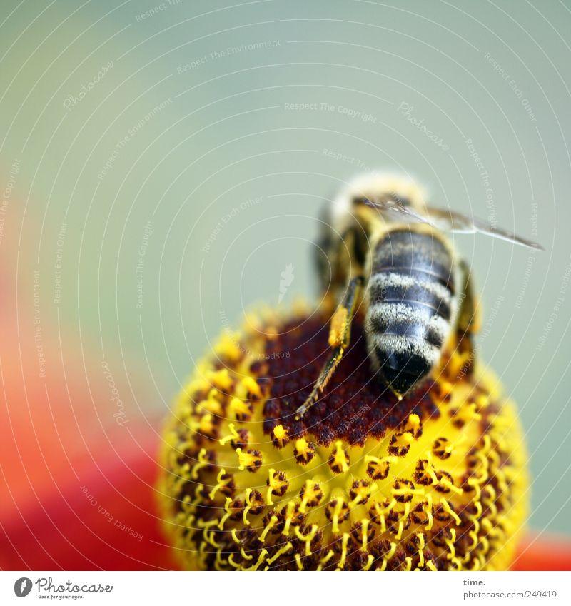 Spielbein schön Umwelt Natur Pflanze Tier Blume Blüte Wildtier Biene ästhetisch authentisch klein Spitze stachelig Leichtigkeit Mittelpunkt Insekt Nektar
