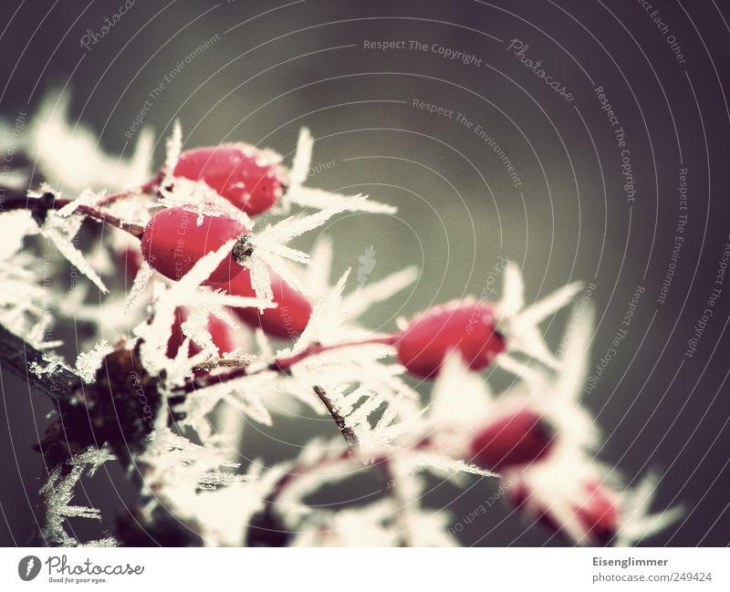 Eiszeit weiß Pflanze rot Winter kalt grau Klima Coolness Frost Spitze Eiskristall Hagebutten