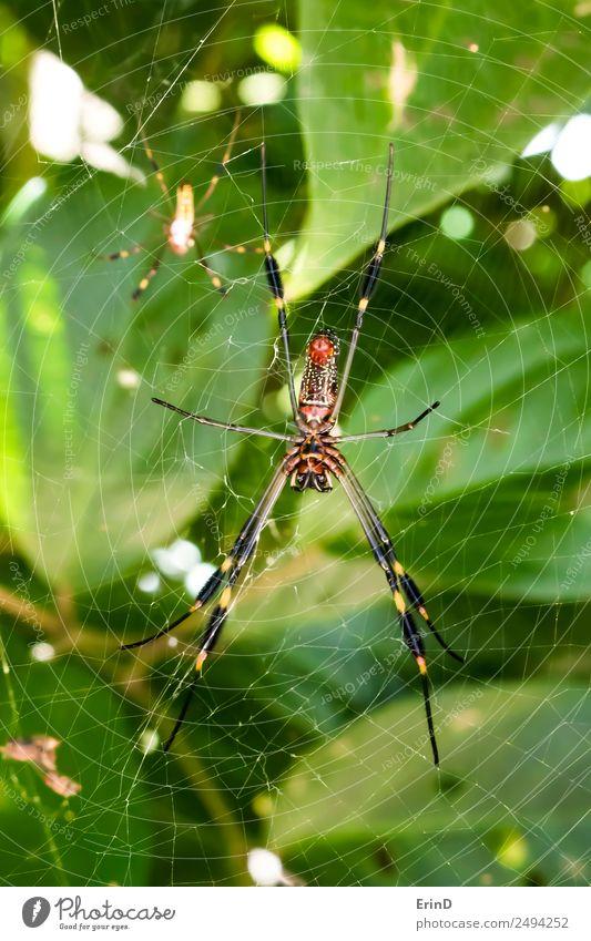 Paar leuchtend gefärbte giftige Spinnen aus der Nähe im Dschungelgewebe schön Ferien & Urlaub & Reisen Internet Frau Erwachsene Mann Natur Tier Urwald fangen