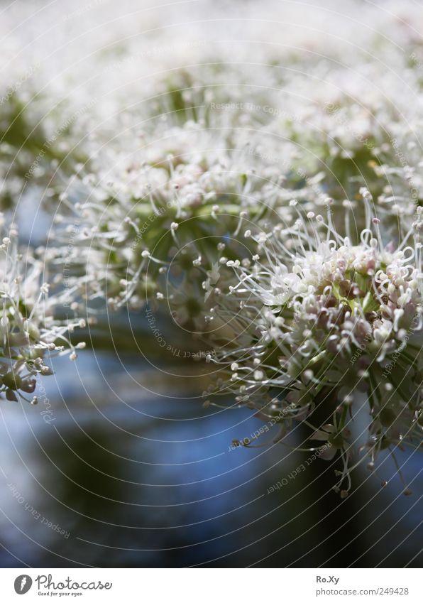 Blümchen auf der Alm Umwelt Natur Pflanze Frühling Blume Blühend Wachstum Kontrast weiß Farbfoto Außenaufnahme Nahaufnahme Licht Unschärfe