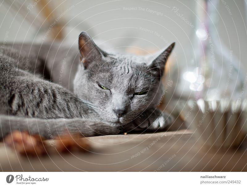 Relax blau Tier Erholung grau träumen Stimmung klein Metall Katze Zufriedenheit Glas ästhetisch schlafen niedlich Tiergesicht Fell