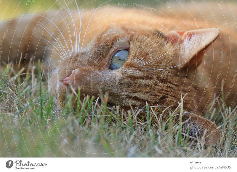 roter Kater Katze schön Erholung ruhig Zufriedenheit liegen genießen beobachten Pause Neugier Wohlgefühl Kontakt Haustier Vertrauen Wachsamkeit