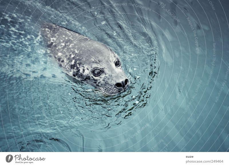 Robbie Natur blau Wasser Meer Tier Kopf Wellen Schwimmen & Baden Wildtier wild niedlich Neugier Tiergesicht Im Wasser treiben Wasseroberfläche Robben