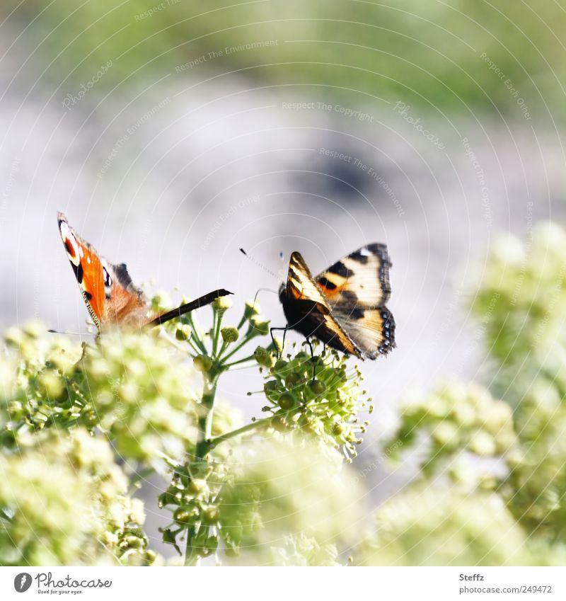 solange es noch sonnig bleibt.. Natur Pflanze schön Sommer Tier Umwelt klein Zusammensein Sträucher Flügel Lebewesen zart Schmetterling Leichtigkeit leicht Oktober