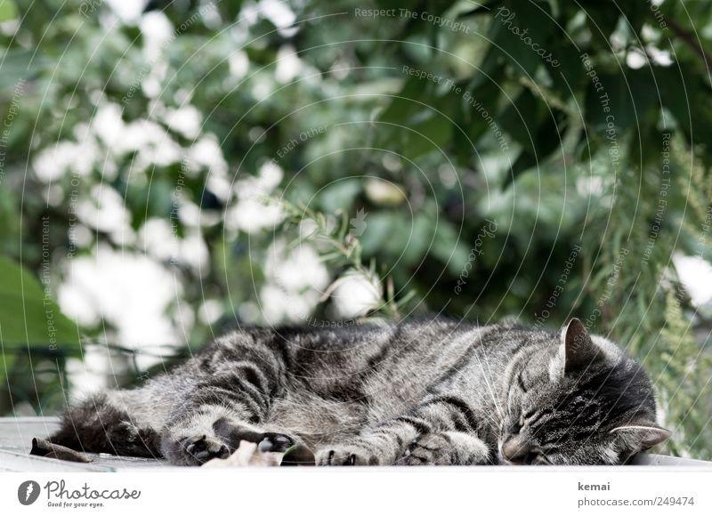 Nickerchen Natur grün Pflanze Tier Umwelt Garten grau Katze schlafen liegen Sträucher Tiergesicht Fell Pfote Haustier Tigerkatze
