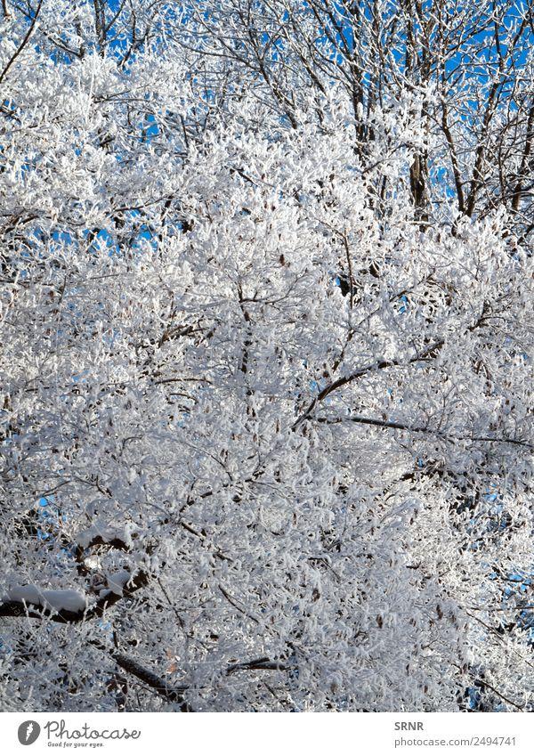 Krone des kahlen Baumes Winter Schnee Umwelt Natur Klima Wetter blau weiß Nackter Baum Ast übersichtlich kalt Frost gefroren Jahreszeiten Winterbaum Farbfoto