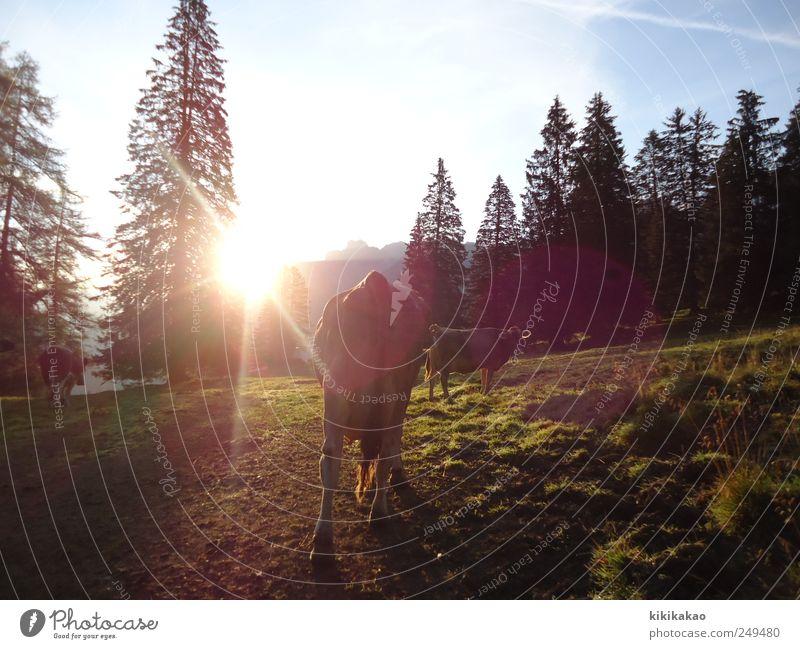 Auf geht's Landschaft Sonnenaufgang Sonnenuntergang Sonnenlicht Sommer Feld Berge u. Gebirge Alpen Alpenwiese Alm Weide Alpöhi Tier Nutztier Kuh 3 Tiergruppe