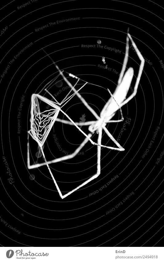 Spinne bereitet Netz zum Werfen nach Beute vor Jagd Ferien & Urlaub & Reisen Internet Natur Tier Fressen werfen dunkel gruselig einzigartig schwarz weiß Angst