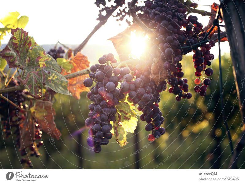 Winzerfreude. Umwelt ästhetisch Weinlese Weinberg Weintrauben Weinbau Rotwein Qualität reif Ernte Italien Italienisch Außenaufnahme Berghang Sonne Farbfoto