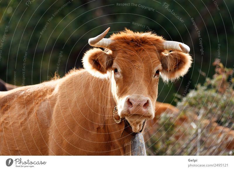 Rothaarige Kuh Gesicht Sommer Familie & Verwandtschaft Erwachsene Umwelt Natur Landschaft Tier Wolken Wiese Dorf Herde grün rot schwarz weiß Bauernhof Feld