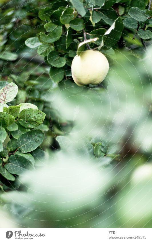 I quit Umwelt Natur Landschaft Pflanze Sommer schlechtes Wetter Blatt Nutzpflanze Garten hängen kalt trist grün Quitte Quittenbaum Quittenblatt bleich Unschärfe