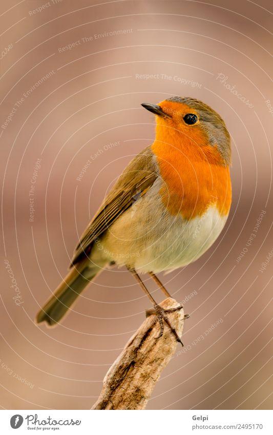 Vogel schön Leben Mann Erwachsene Umwelt Natur Tier klein natürlich wild braun weiß Tierwelt Rotkehlchen allgemein gehockt Hintergrund Passerine