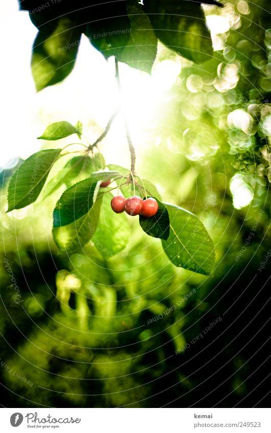 Als die Kirschen reiften Natur grün Pflanze Sonne Sommer Ernährung Umwelt Garten Lebensmittel hell Frucht Wachstum Warmherzigkeit Schönes Wetter hängen Picknick