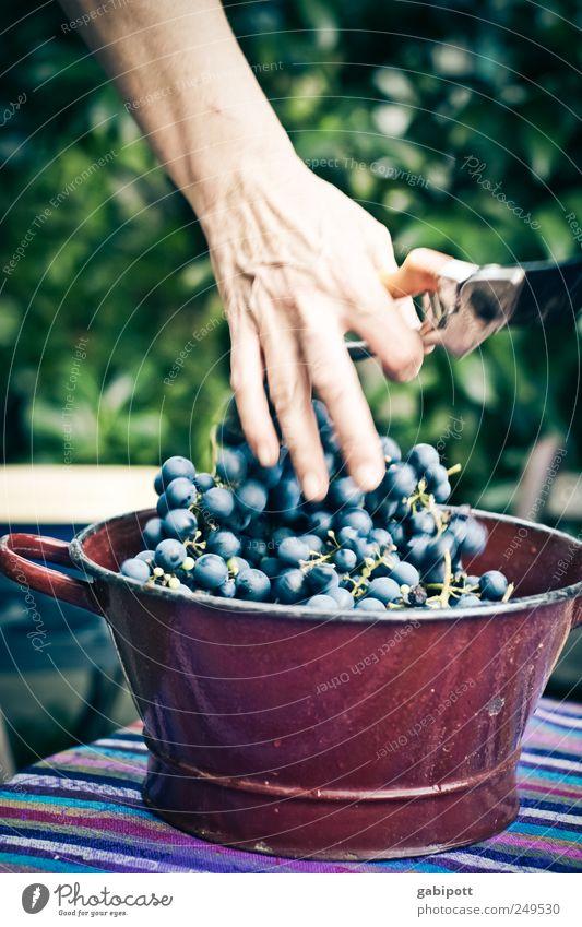 Erntefrisch auf den Tisch Natur blau Ernährung Lebensmittel braun Frucht natürlich Idylle Ernte Lebensfreude Schalen & Schüsseln Gartenarbeit Weintrauben Weinlese fruchtig Erntedankfest