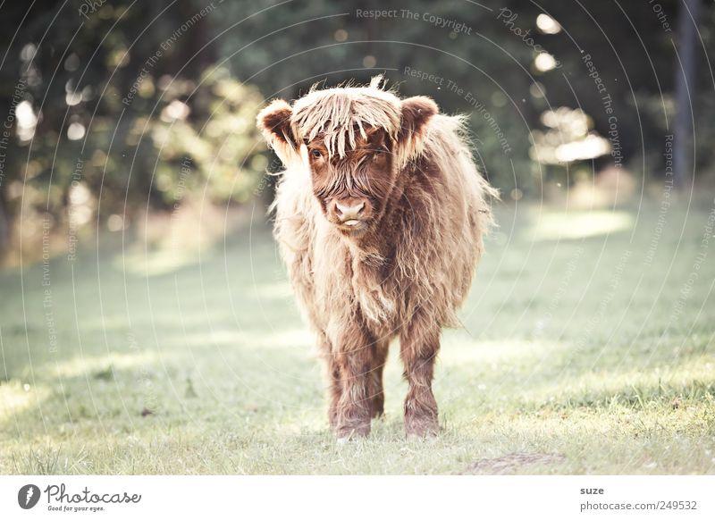 BB ... BabyBüffel Umwelt Natur Tier Wiese Feld Nutztier Tiergesicht 1 Tierjunges lustig niedlich Kalb Rind Weide Landleben buschig Fell Farbfoto Gedeckte Farben