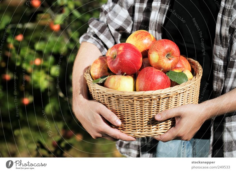 Apfelernte Gartenarbeit Tag Hand unkenntlich reif Lebensmittel Frucht Ernte gefüllt Halt satt voll Korb Weidenkorb Mann Landwirt