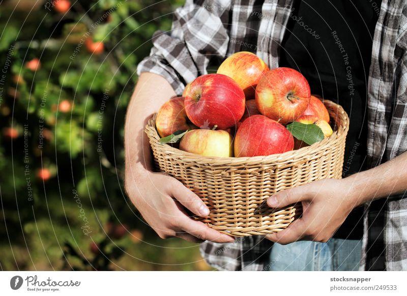 Mann Hand Lebensmittel Frucht Apfel Ernte Landwirt Halt Gartenarbeit Korb voll satt Ernährung Arbeit & Erwerbstätigkeit unkenntlich Weidenkorb