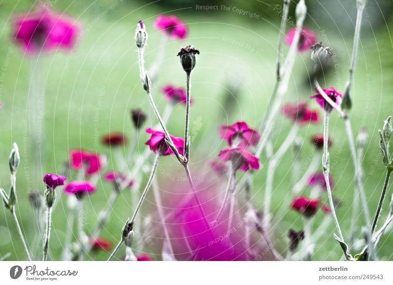 Lychnis Coronaria (Kronenlichtnelke) Natur grün schön Pflanze Blume Blatt Umwelt Landschaft Blüte Feste & Feiern elegant Halm Botanik Schrebergarten