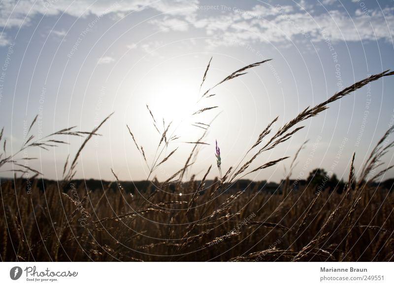 Die Sonne geht runter Himmel Natur blau weiß schön Pflanze Sonne Sommer Wolken schwarz Landschaft Gras Wärme Luft Stimmung hell