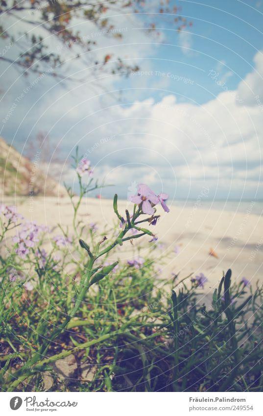Aufblühen. Himmel Natur blau Pflanze Sommer Strand Meer Blume Ferien & Urlaub & Reisen Wolken ruhig Erholung Landschaft Blüte Sand Frühling