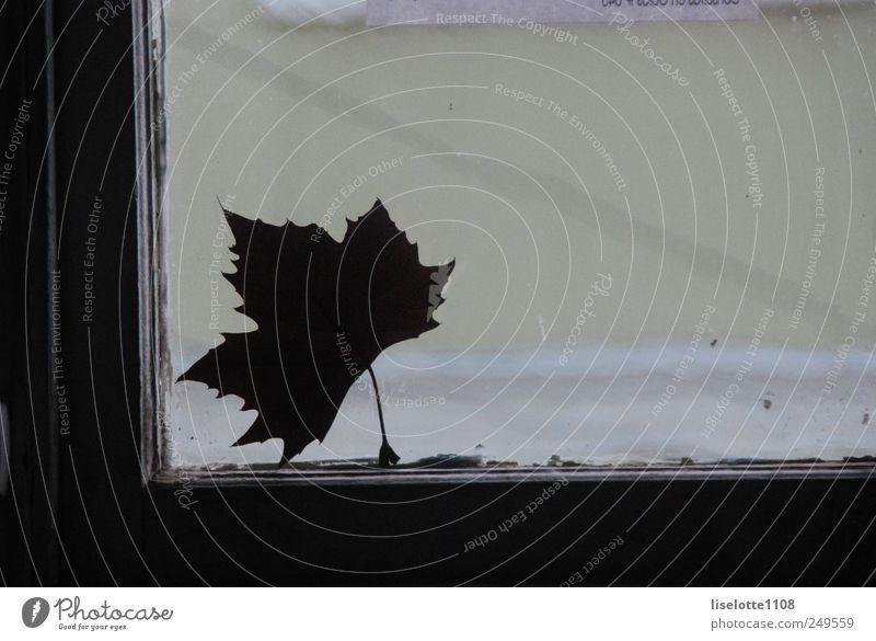 Ahornblatt gegen Fenster Natur grün weiß schön Pflanze Blatt dunkel Herbst Umwelt grau Traurigkeit träumen Tanzen frei ästhetisch authentisch