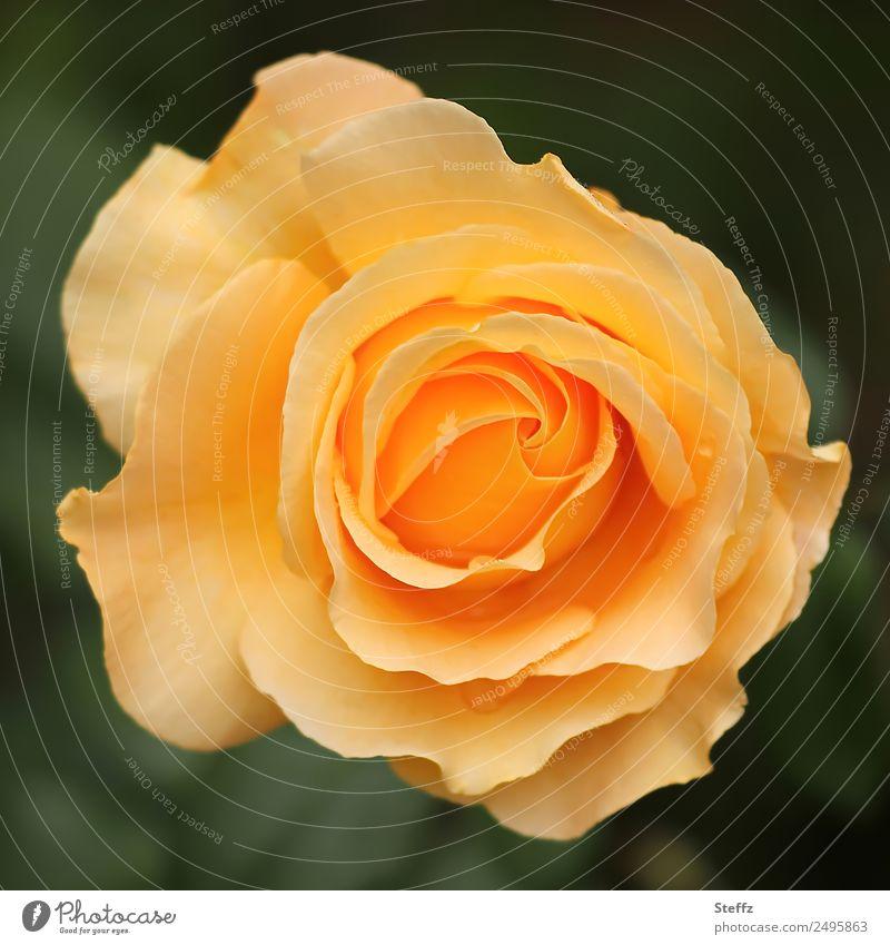 diese Rose Valentinstag Muttertag Geburtstag Natur Pflanze Sommer Blume Blüte Gartenblume Gartenpflanzen Blütenblatt Rosenblüte Park Blühend schön gelb grün