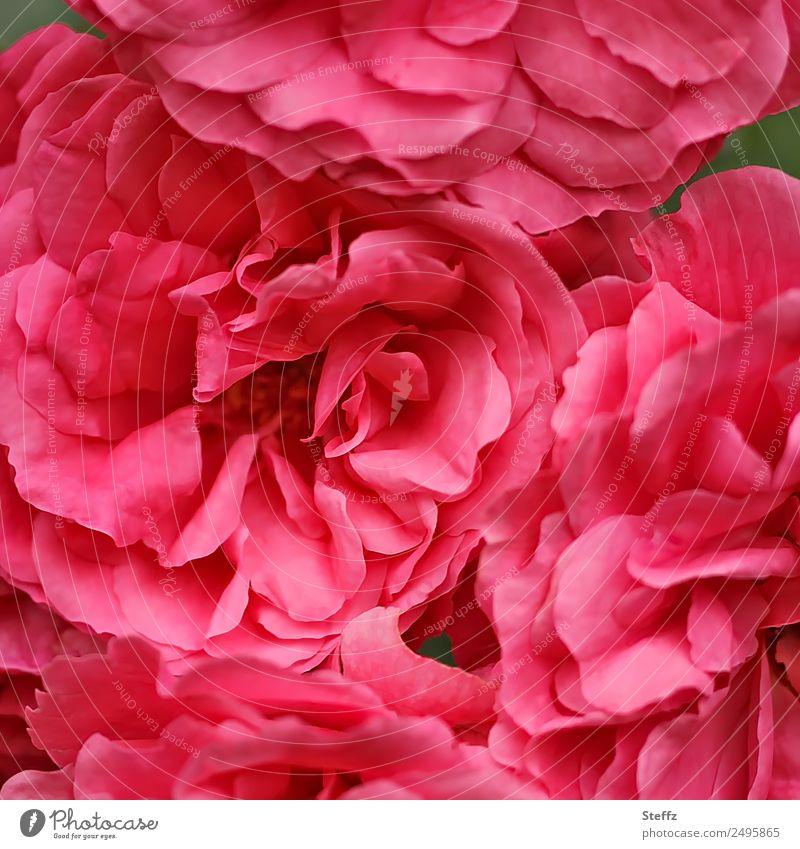 Eine Rosenfamilie Valentinstag Muttertag Geburtstag Natur Pflanze Sommer Blume Blüte Rosenblüte Blütenblatt Gartenpflanzen Gartenblume Park Blühend schön rot