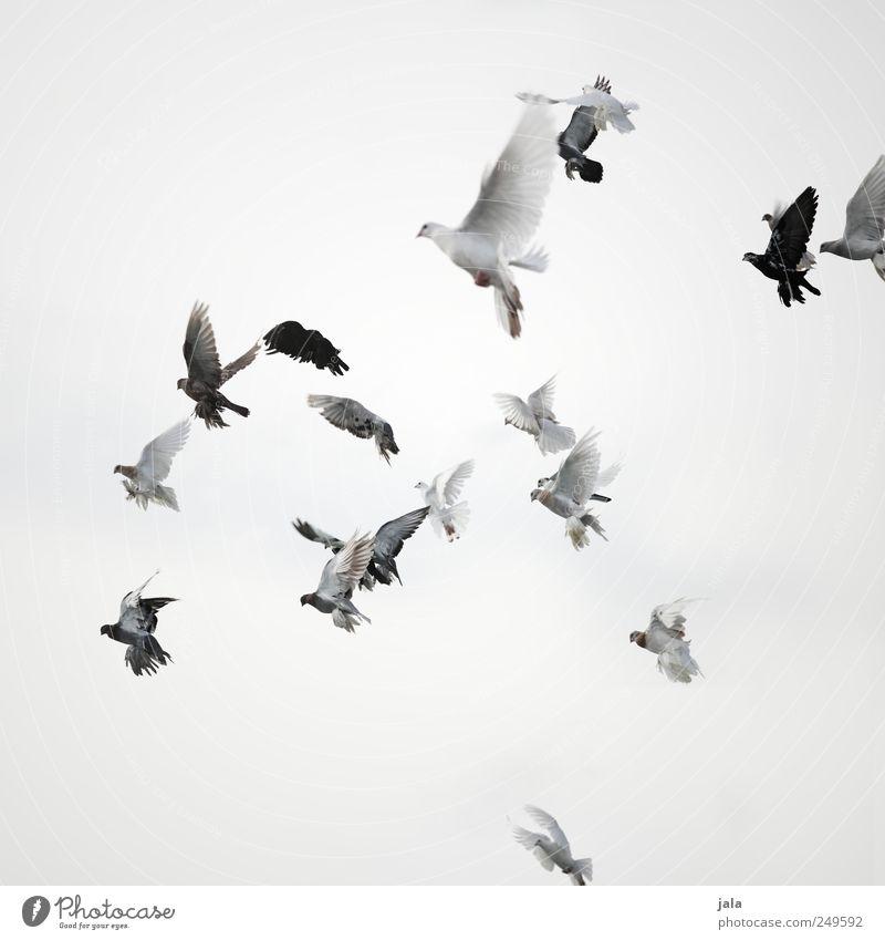 fly Himmel Tier Feste & Feiern Vogel fliegen ästhetisch Taube Schwarm