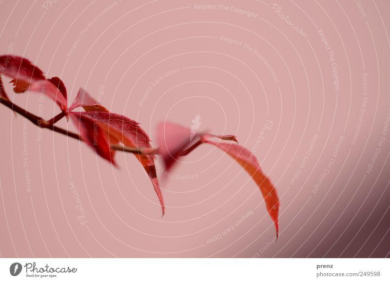 herbst Natur Pflanze Sträucher Blatt Wildpflanze Park braun rot Zweig Zweige u. Äste Wilder Wein Herbst Herbstlaub herbstlich Herbstbeginn Herbstfärbung