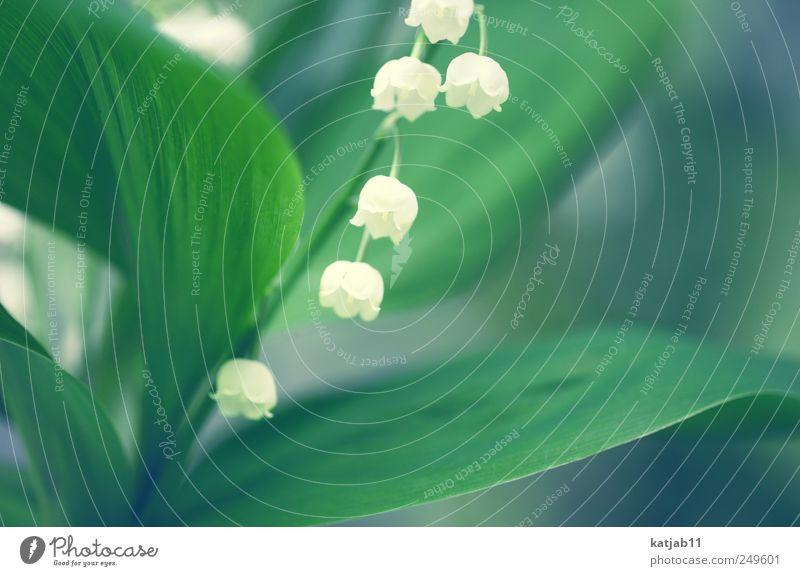 Maiglöckchen Natur weiß grün Pflanze Blume Frühling klein Grünpflanze