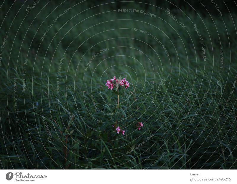 Performance Pflanze Gras Wildpflanze Schilfrohr Akelei Küste Wachstum ästhetisch dunkel grün rosa selbstbewußt Kraft Leben Neugier Stolz Einsamkeit einzigartig