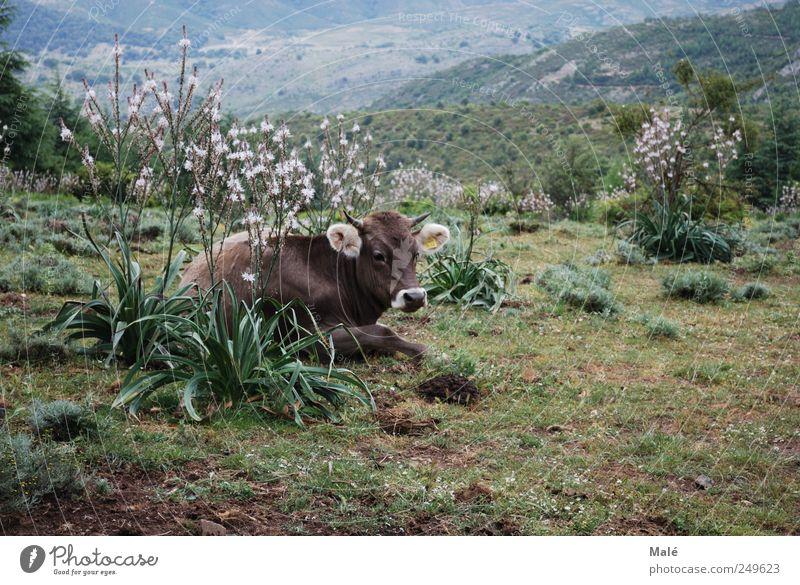 Siesta Natur Ferien & Urlaub & Reisen Pflanze Tier Landschaft Wiese Berge u. Gebirge Gras Tierjunges wandern Sträucher Idylle Hügel Tiergesicht Italien Kuh