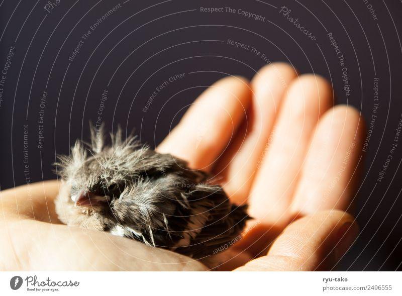 In Sicherheit Hand Tier Tierjunges Leben klein Vogel wild Feder niedlich Hilfsbereitschaft weich Schutz Geborgenheit Kontrolle geduldig