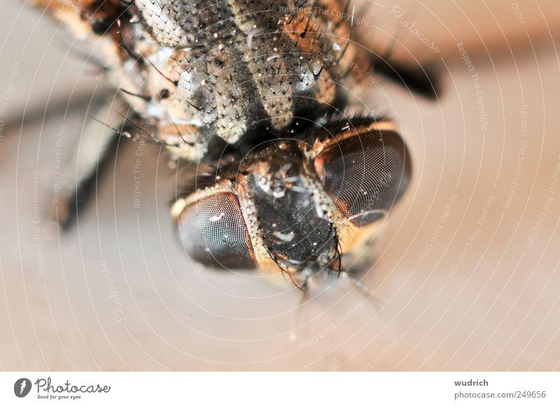 Stachelhäuter oder was? Tier Fliege Insekt 1 bedrohlich Ekel gruselig hässlich nah Spitze stachelig braun rot Natur Surrealismus Facettenauge Gedeckte Farben