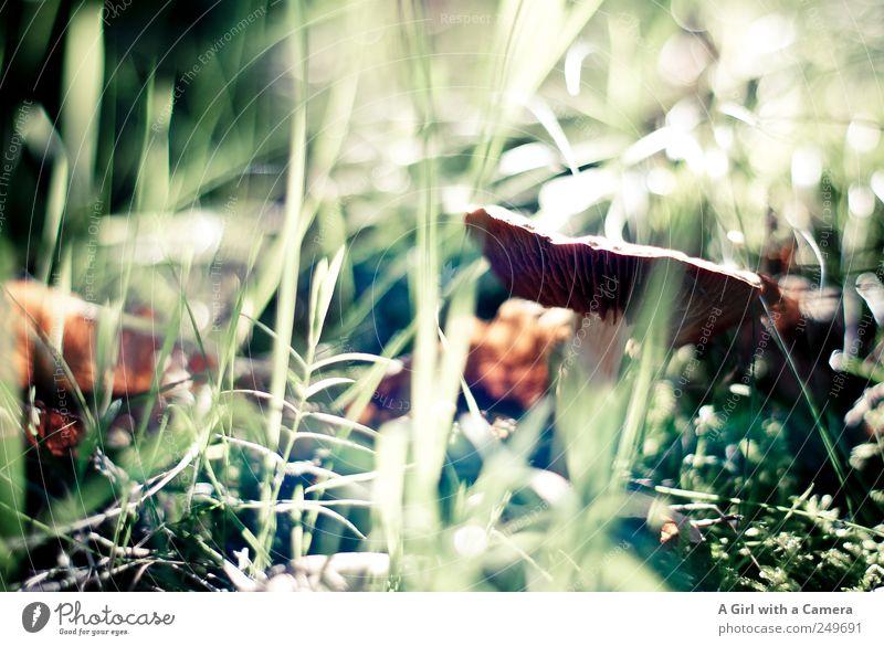 forest garden Umwelt Natur Pflanze Herbst Pilz stehen Wachstum natürlich wild braun grün Waldboden Pilzkopf verstecken zartes Grün Gedeckte Farben Außenaufnahme