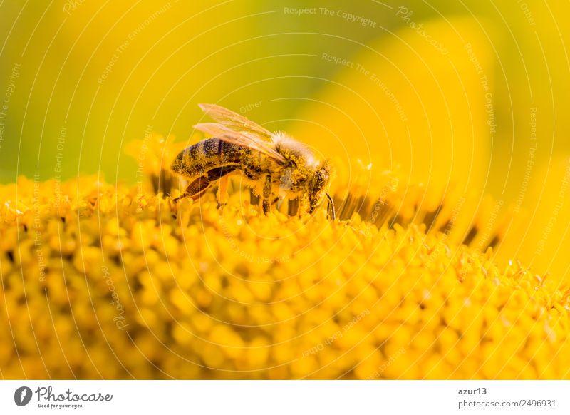 Makro Honig Biene sammelt gelbe Pollen auf Sonnenblume in Natur Körper Sommer Sonnenbad Arbeit & Erwerbstätigkeit Umwelt Pflanze Tier Sonnenlicht Frühling
