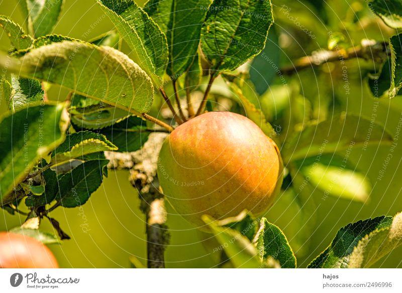 reifer Apfel am Baum Gesundheit rot grün Apfelbaum Frucht Vitamin C Essen Natur Aussaat Produkt Landwirtschaft Sommer Farbfoto Außenaufnahme Nahaufnahme