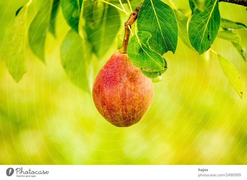 Birne, reife Mostbirne am Baum Frucht Natur saftig rot Birnbaum Obst grün Mostobs traditionell Anbau Sor alte Streuobst schwäbisch Saft Cidre Landwirtschaft