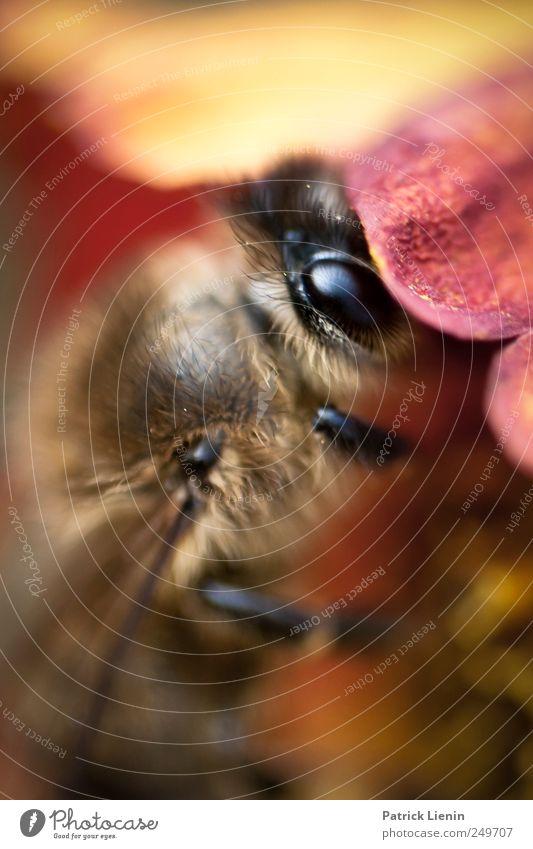 Oh Honey Umwelt Natur Pflanze Tier Sommer Blume Blüte Garten Wildtier Biene 1 Arbeit & Erwerbstätigkeit ästhetisch schön wild Sammlung Honig Auge Blick