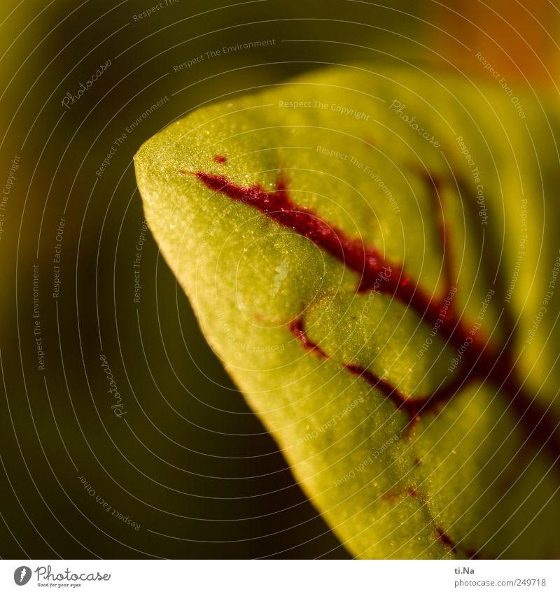 Blut Umwelt Pflanze Frühling Sommer Herbst Klima Schönes Wetter Nutzpflanze Blutampfer Garten Wachstum authentisch lecker natürlich saftig grün rot Farbfoto