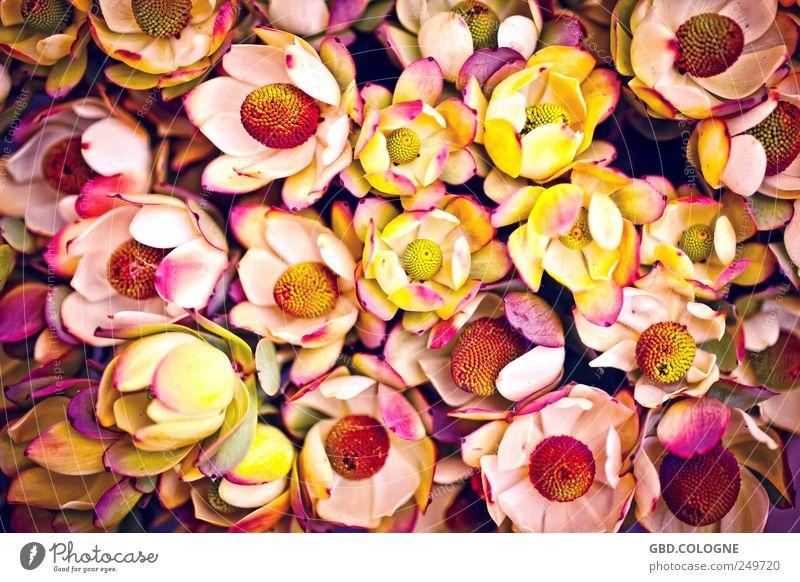 Blütenmeer Pflanze Herbst Blume Topfpflanze Garten Blühend ästhetisch Duft gelb violett rosa rot Natur Blumenstrauß Blumenstand Gärtnerei Pollen Farbfoto