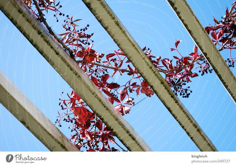 herbstlich Himmel Wolkenloser Himmel Pflanze Blatt Balken Dachgebälk Holz blau rot Herbstlaub Herbstfärbung Herbstwetter Farbfoto Außenaufnahme Menschenleer Tag