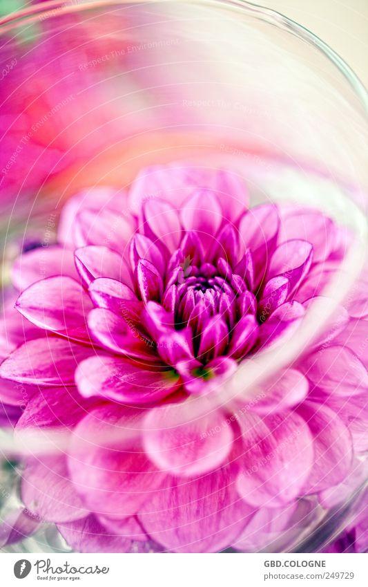 floraler Farbschock Pflanze Blüte rosa Blühend Blumenstrauß bizarr Nutzpflanze Topfpflanze Gärtnerei Chrysantheme