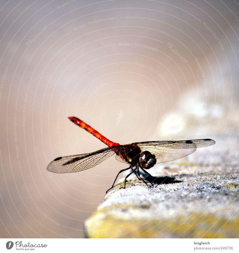 Libelle Tier Insekt Libellenflügel 1 berühren Bewegung fliegen sitzen glänzend klein braun filigran Flügel zerbrechlich Farbfoto Gedeckte Farben Außenaufnahme