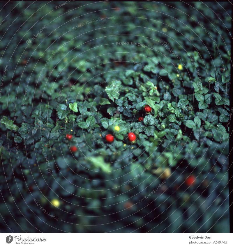 Beerig. Umwelt Natur Pflanze Blume Gras Sträucher Erdbeeren Wald-Erdbeere authentisch frisch lecker natürlich süß wild Stimmung Farbfoto Außenaufnahme