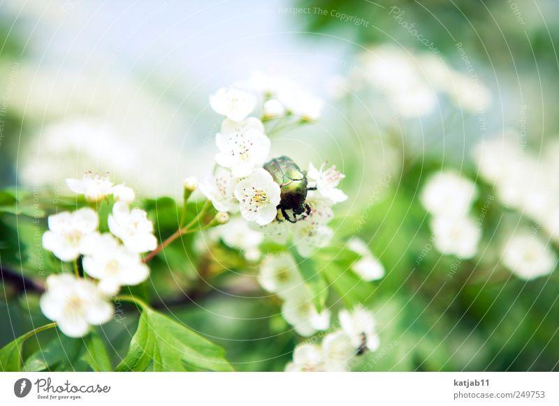 Käfer Umwelt Natur Pflanze Tier Schönes Wetter Blume Blüte Grünpflanze Kirschblüten Garten Wildtier 1 krabbeln grün weiß Farbfoto Außenaufnahme Tag Sonnenlicht