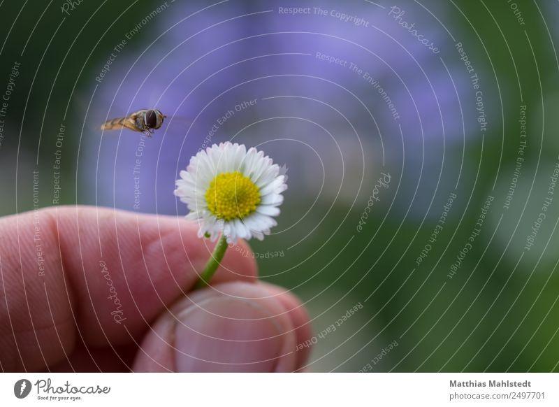 Insekt im Anflug Finger Umwelt Natur Pflanze Tier Blume Blüte Gänseblümchen Fliege 1 festhalten fliegen natürlich gelb grün Zufriedenheit Gelassenheit Erholung